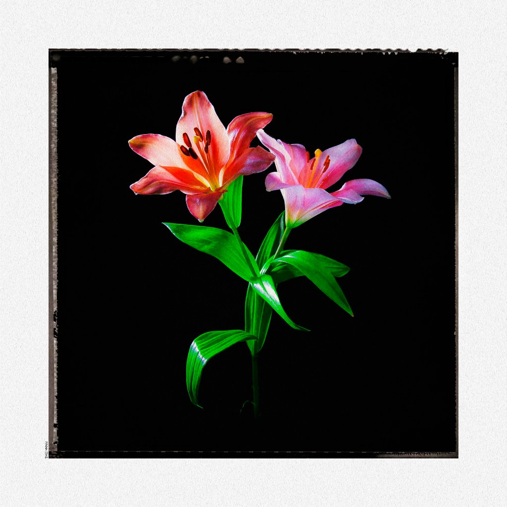 Lily Polaroid low