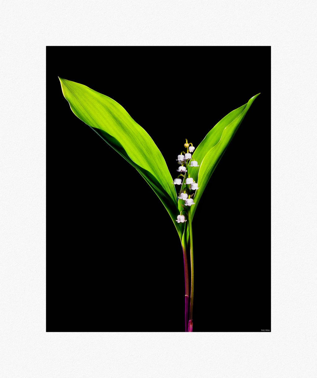 Lily of the valley Low