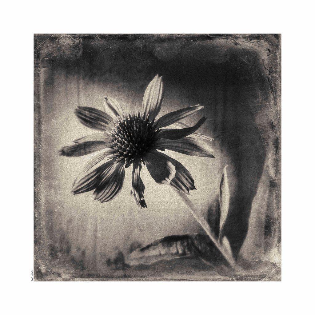 Echinacea low